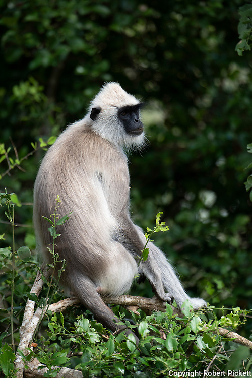Tufted Gray Langur, Semnopithecus priam, Yala National Park, male sitting in tree, Sri Lanka