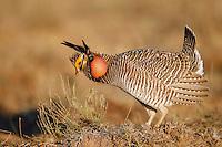 Lesser Prairie-Chicken - Tympanunchus pallidicinctus - male