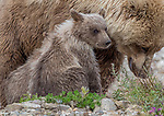 USA, Alaska, Katmai National Park, brown bear (Ursus arctos) sow and cubs