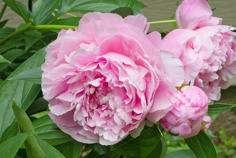 Paeonia Sarah Bernhardt peonies herbaceous perennial pink flowers peony in late spring early summer