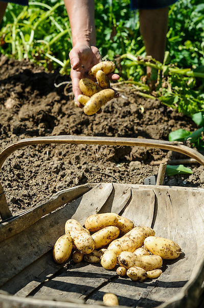 Harvesting  Amandine Potatoes