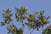 Eichengallen, Eichen-Gallen, Gemeine Eichengallwespe, Eichen-Gallwespe, Eichen - Gallwespe, Gallen, Galle an den Blattunterseiten einer Eiche, Cynips quercusfolii, common oak gallwasp, oak leaf cherry-gall cynipid, cherry gall