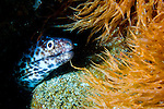 Spotted moray: Gymnothorax moringa, amongst orange sea weed
