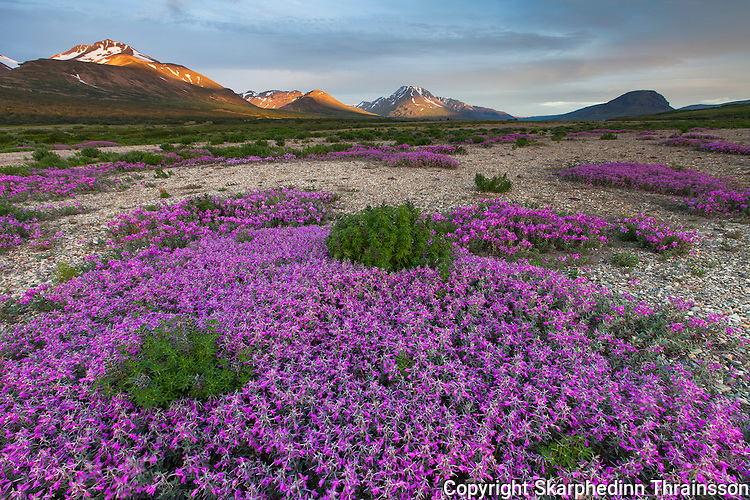 Eyrarrós in Skriðdalur, east Iceland