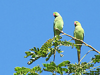 Stock image Pair of parrots sitting on tree branch against clear blue sky.<br />