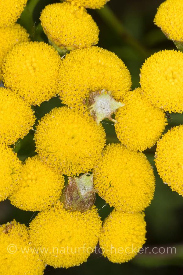 Rainfarn-Gallmücke, Rainfarngallmücke, Galle an Rainfarn, Rhopalomyia tanaceticola, Rhopalomyia tanacetifolia