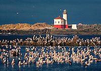 Brown Pelicans (Pelecanus occidentalis). Coquille River Lighthouse. Mouth of Coquille River, Oregon