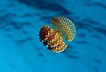 Bell Jellyfish ,Phyllorhiza punctata, Thailand.