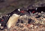 gentoo penguin presenting stone