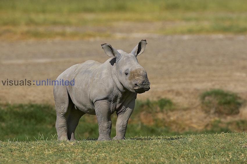 Young White Rhinoceros (Ceratotherium simum), Kenya.