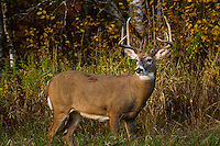 Majestic white-tailed buck