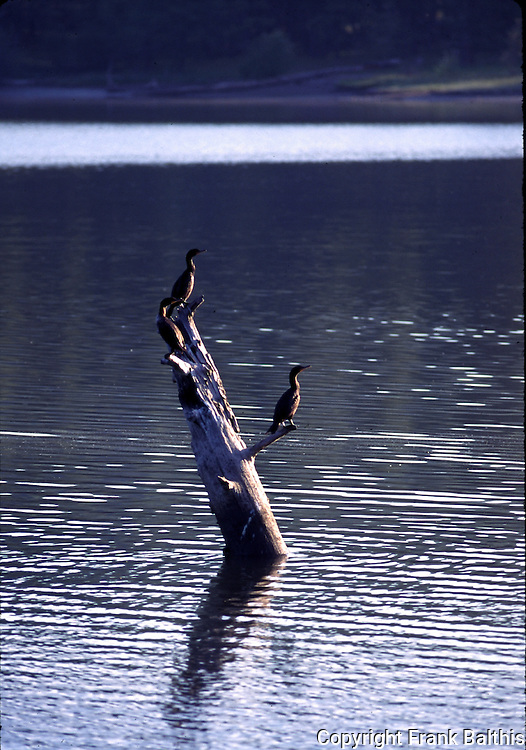 Cormorants on log in Lake Britton