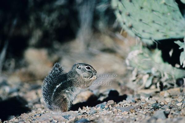 Harris's Antelope Squirrel, Ammospermophilus harrisii, adult eating, Sonora Desert Museum, Tucson, Arizona, USA, January 2000