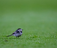 A bird on the pitch during the UEFA Europa League match between Arsenal and Qarabag FK at the Emirates Stadium, London, England on 13 December 2018. Photo by Andy Rowland.