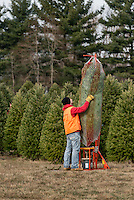 Man prepares freshly cut Christmas tree for customer, New Jersey, USA