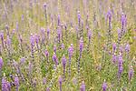Anza-Borrego Desert State Park, Borrego Springs, California; a field of purple flowering Arizona Lupine (Lupinus arizonicus) plants