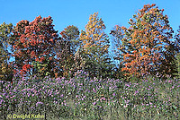 MD07-030b  Meadow - autumn, field of wild asters