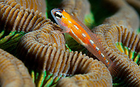 Masked or glass goby on Roatan, Honduras; Feb. 14, 2015.