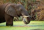 African elephant, Okavango River, Botswana