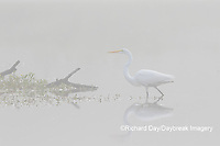 00688-02414 Great Egret (Ardea alba) in wetland in fog, Marion Co., IL