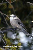 01294-00107 Gray Jay (Perisoreus canadensis)    WY