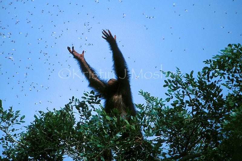 Glitter reaches for flying termites in the treetops, Peak Ridge.Gombe National Park, Tanzania.26 April 2004.Juvenile Eastern Chimpanzee (Pan troglodytes schweinfurthii)