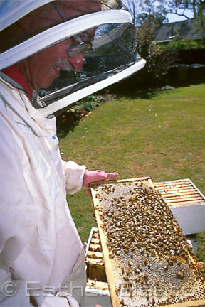 Beekeeper examining a frame of honeycomb with worker bees on it. Sydney, NSW