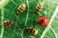 INSECTS.Ladybug & Spotted Cucumber Beetle.