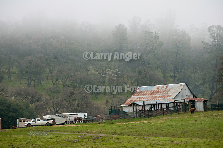 "Cattle marking and branding with the Dell""Orto family in the Sierra Nevada Foothills of California. (Mattley Barn)..**usage by any anti-livestock individual, group, publication, websites, e-mail or anything similar is prohibited."