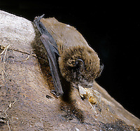 Leisler's Bat Nyctalus leisleri Wingspan 30-35cm Medium-sized bat. Recalls Noctule but smaller. Adult has long fur, dark brown above and buffish brown below. Face is blackish. Ears are dark and broadly oval with 4-5 transverse folds; tragus is mushroom-shaped. Wings are dark and narrow. Utters shrill calls in flight. Echolocates in 15-45kHz range. Widespread, mainly in Ireland. Feeds over marshes, meadows and in open woodland. Feeds just after dusk and just before dawn. Flight is fast, wingbeats are rapid. Roosts in tree holes, roof spaces and bat boxes in summer, hibernates in deep tree holes.