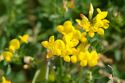 Birdsfoot Trefoil- Lotus corniculatus-during the summer months in New Hampshire USA. This plant is used for erosion control