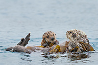 Southern Sea Otter (Enhydra lutris nereis) mother with young, playful pup.  Central California Coast.