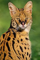 Serval (Leptailurus serval).  Found on Savannas of central Africa.