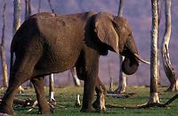 An AFRICAN ELEPHANT (Loxodonta Africana) on the shores on LAKE KARIBA - ZIMBABWE