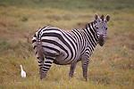 common zebra and egret
