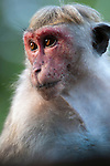 A female toque macaque showng the red face that comes to this sex and increases with maturity. Archaeological reserve, Polonnaruwa, Sri Lanka. IUCN Red List Classification: Endangered