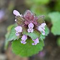Red dead-nettle (Lamium purpureum) in flower, mid April.
