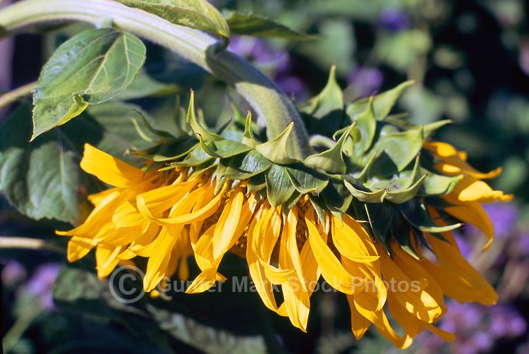 Terra Nova Rural Park, Richmond, BC, British Columbia, Canada - Sunflower (Helianthus) in bloom at the Terra Nova Community Garden