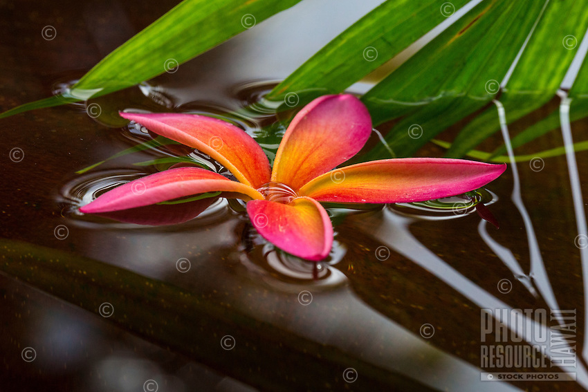 A pink plumeria flower floats in a pond on O'ahu.