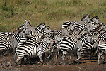 Running zebras in Africa