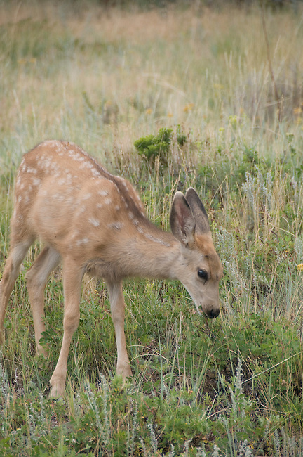 mule deer fawns, Odocoileus hemionus, Rocky Mountains, Colorado, wildlife, nature