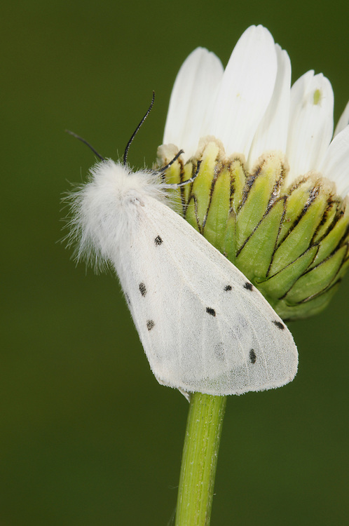 Muslin Moth - Diaphora mendica<br /> female