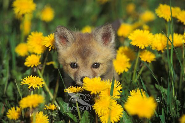Red fox pup (Vulpes vulpes) in field of dandelions.