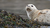 Seals are often pulled out on rocks and shorelines in the San Juans.