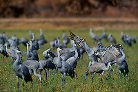 51266397 a wild flock of sandhill cranes grus canadensis forage in a large field in bosque del apache national wildlife refuge new mexico