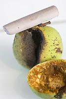 Europe/France/Midi-Pyrénées/81/Tarn/ GraulhetCrayon de pastel au brou de noix chez  L'Artisan Pastellier  dans son atelier du:Pays de Cocagne