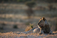 Resting subadult male lion against kalahari landscape backdrop