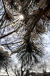 2 January 2008: Sunlight shines through the needles of a snow-covered coniferous tree in a suburban park on the island of Montreal, Quebec, Canada...Mandatory Photo Credit: Ed Wolfstein Photo