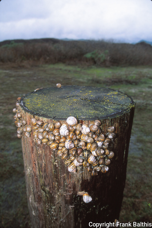 snails on post at Ano Nuevo State Park