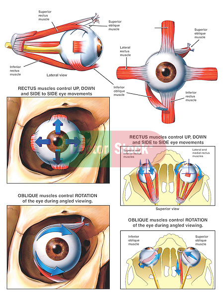 Muscles and Movements of the Eye. Labeled structures include the medial, lateral, superior and inferior rectus muscles;  superior and inferior oblique muscles and trochlea.